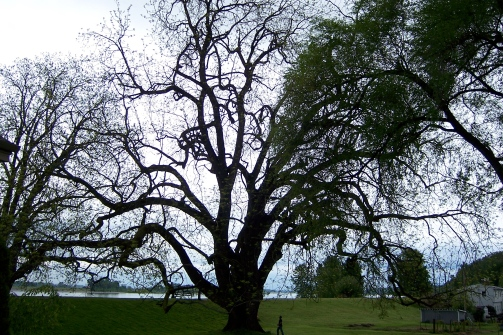 The largest known living black walnut tree is on Sauvie Island, Oregon. Image via Wiki, CC BY-SA 3.0.