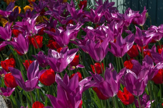 Purple Tulips. Photo permission of Susan from Life is a Journey, Not a Guided Tour